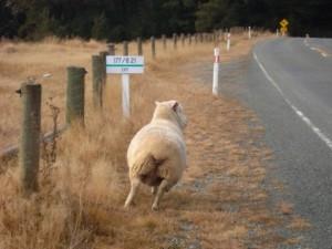 Gotta love the sheep...